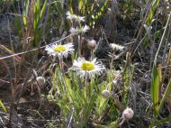 Perhaps a fleabane on Gunnison National Forest Road 860