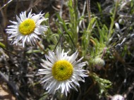 Erigeron spp. perhaps but part of Asteraceae regardless