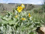 Overlooking the Gunnison River and growing along Gunnison National Forest Road 860, an Arrow-leaf Balsamroot