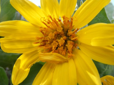 A close up of the Arrow-leaf Balsamroot flower in full bloom