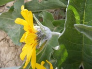 Profile of the Arrow-leaf Balsamroot flower, on Gunnison National Forest Road 860