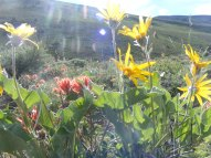 Yellow Balsam Root and Orange Paintbrush in the sagebrush steppe above the Gunnison River