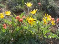 Evening Sun lighting up orange Paintbrush and yellow Arrow-leaf Balsamroot