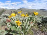 A colorful view of the sagebrush steppe during May blooms