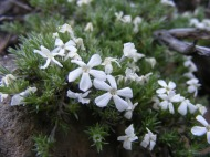 A small white Phlox spp. growing on the sagebrush steppe