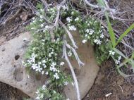 A small white Phlox in Polemoniaceae, spreading over stone on Gunnison National Forest Road 860