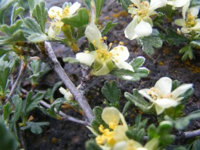 Maybe a cliffrose or bitterbrush, part of the Rose Family, though