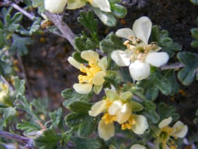 A flowering shrub, of the Rose Family, growing in the sagebrush steppe