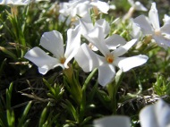 Close up of a white Phlox