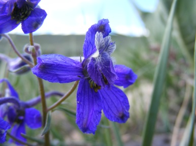 A small purple Delphinium spp., in Ranunculaceae, on the sagebrush steppe along Gunnison National Forest Road 860