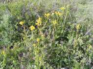 A second species of yellow Aster Family plant, on Gunnison National Forest Road 860