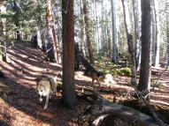 Draco and Leah in the mixed aspen and conifer forest on East Pass Creek