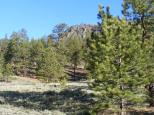 Ponderosa forest on East Pass Creek