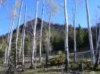 Aspen grove with newly budded leaves, on Pass Creek east of North Pass