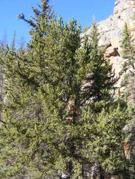 A bristlecone pine on East Pass Creek