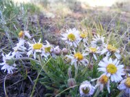 A fleabane or something similar, on East Pass Creek