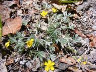 Maybe a cinquefoil on East Pass Creek, part of the Rose Family