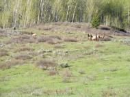 A small herd of elk on Mill Creek