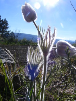 A Pasqueflower in Cunningham Gulch