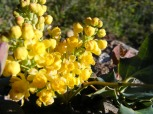 The flowers of the Oregon grape, on Cunningham Gulch