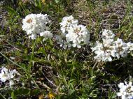 Candytuft, maybe, on Cunningham Gulch