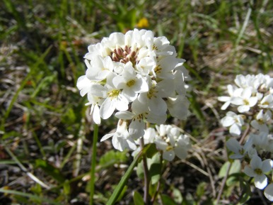Close up of the Candytuft on Cunningham Gulch
