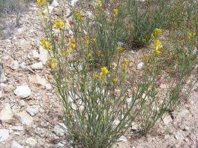 A clump of the slender yellow Mustard on the sagebrush steppe