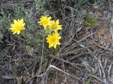 A yellow Aster Family flower, south of Tomichi Dome