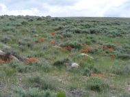 It is late Spring, and the Vernal explosion of wildflowers continues unabated south of Tomichi Dome on the sagebrush steppe