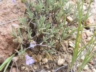 A diminutive species of Penstemon south of Tomichi Dome
