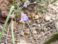 Pretty little Penstemon, along BLM Road 3094