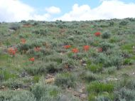 The sagebrush steppe south of Tomichi Dome, spangled with orange Paintbrush