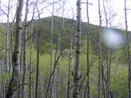 A forest of aspen rising up to a highpoint above East Willow Creek