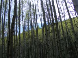 Aspen forest in shadow, Bear Gulch