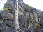 A lone aspen against a granite outcropping