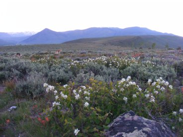 Hiking along Gunnison National Forest Road 810.A2, a shrub in the Rose Family; Round Mountain to the left, the prominent cone