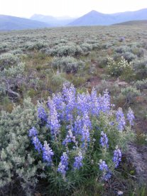 A blooming Lupine in the Almont Triangle
