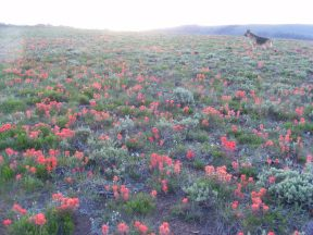 Leah in a sea of Paintbrush atop the Almont Triangle on a fine late Spring morning's hike