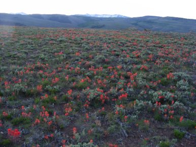 The sagebrush step, spangled with orange Paintbrush; Fossil Ridge on the distant horizon