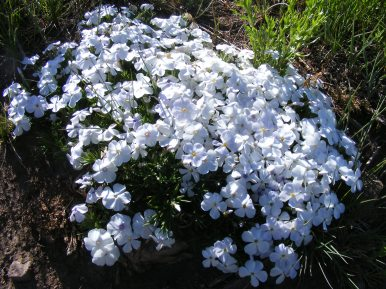 A patch of Phlox on the Almont Triangle