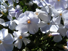 Close up of the small patchy Phlox