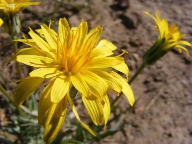 Something in the Aster Family, maybe an Agoseris