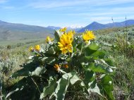 Arrowleaf Balsamroot on the Almont Triangle, neatly framed by the Elk Mountains