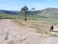 Leah and Draco approach a small ragged ponderosa pine on Gunnison National Road 810, East River below