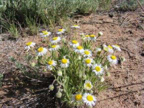 A patch of wild daises, part of the Aster Family, perhaps Erigeron spp., on the Almont Triangle