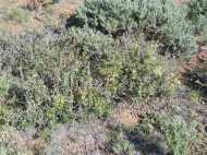This might be Bitterbrush, in the Rose Family, on the Almont Triangle