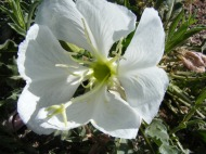 Close up of the Evening Primrose on the Almont Triangle