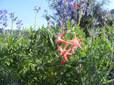 Scarlet Gilia and Lupine on East Elk Creek