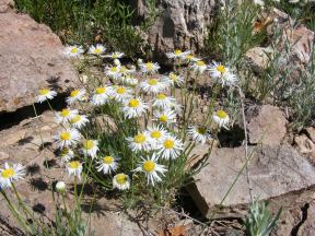 A passel of fleabane or daisies, perhaps in Erigeron spp. in Asteraceae, in East Elk Creek