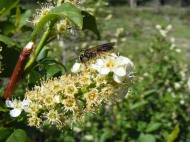 An insect pollinating a Prunus virginiana, Rosaceae, in East Elk Creek